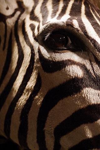 Zebra Closeup iPhone Wallpaper