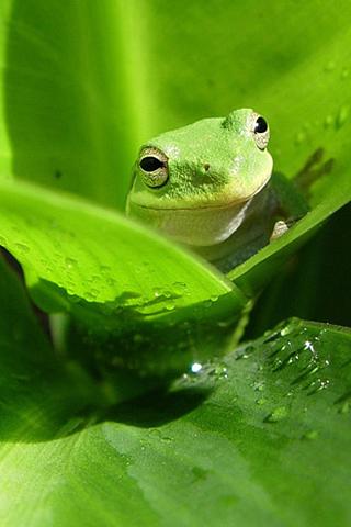 Happy Frog iPhone Wallpaper