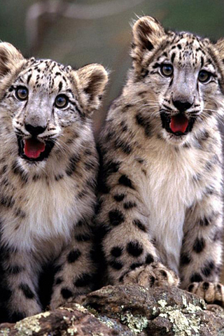 Snow Leopard Cubs IPhone Wallpaper