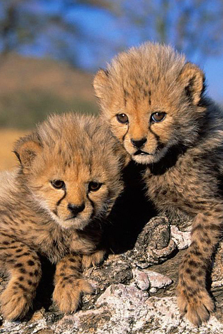 Cheetah Cubs iPhone Wallpaper