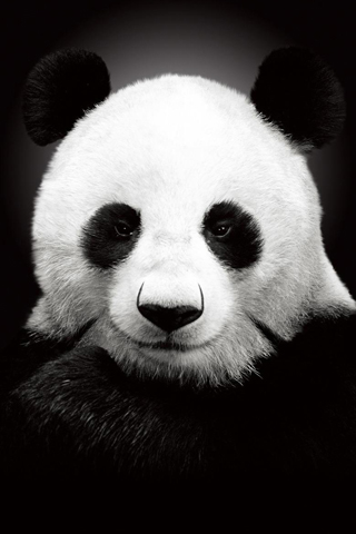 Tough Panda iPhone Wallpaper