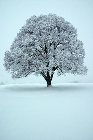 White Oak Tree iPhone Wallpaper