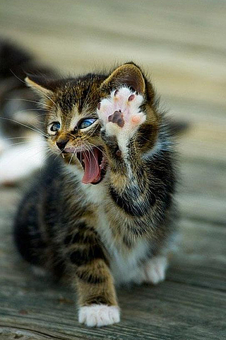 High Five Cat iPhone Wallpaper