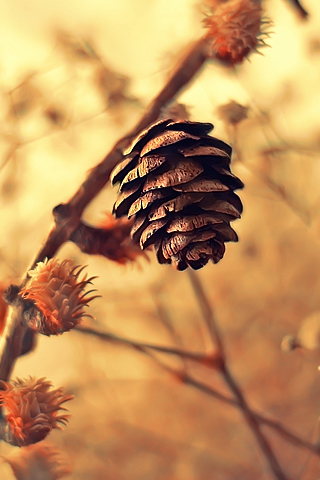 Pinecone iPhone Wallpaper