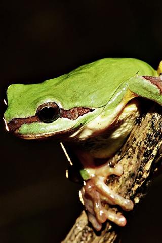 Tree Frog iPhone Wallpaper