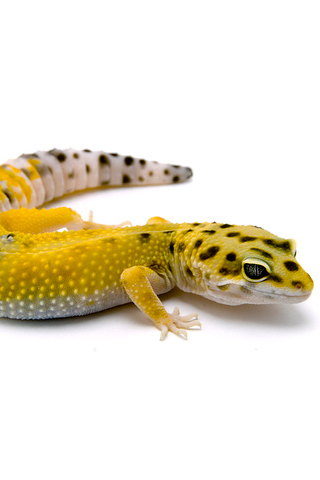 Leopard Gecko iPhone Wallpaper