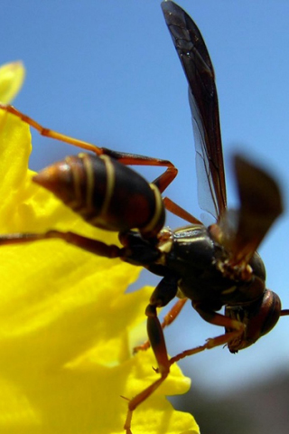 Wasp iPhone Wallpaper