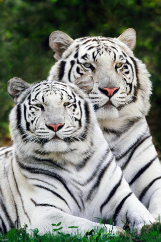 White Bengal Tigers iPhone Wallpaper