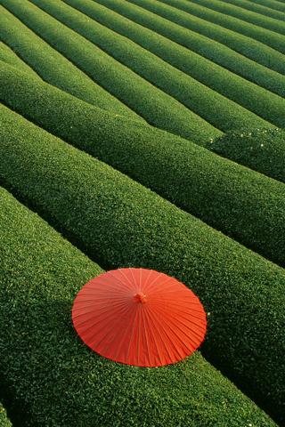Tea Fields iPhone Wallpaper