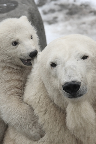 Polar Bear Play iPhone Wallpaper