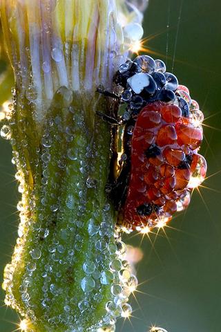Wet Ladybug iPhone Wallpaper