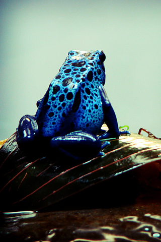 Poisonous Frog iPhone Wallpaper