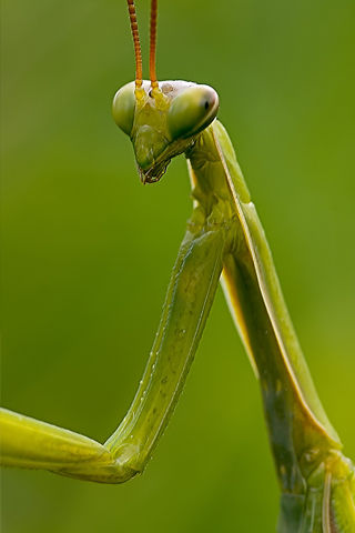 Pray Mantis iPhone Wallpaper