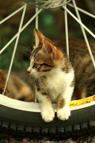 Kitten in Wheels iPhone Wallpaper