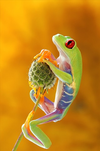 Treefrog iPhone Wallpaper