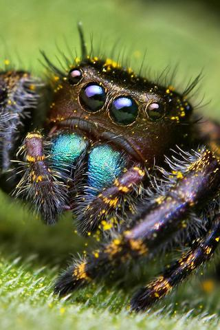 Spider Closeup iPhone Wallpaper