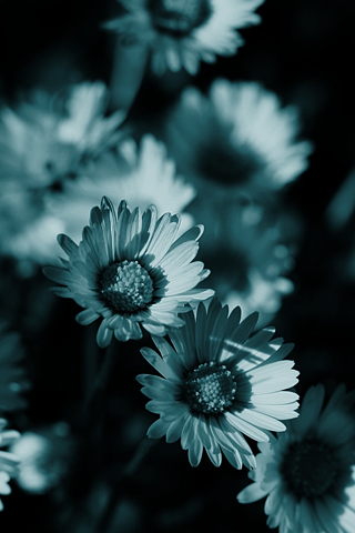 Daisies Filtered iPhone Wallpaper
