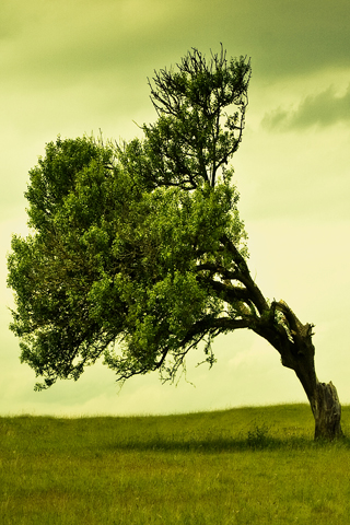 Leaning Tree iPhone Wallpaper
