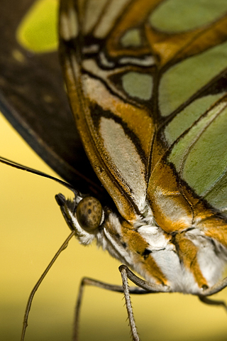 Brown Butterfly iPhone Wallpaper