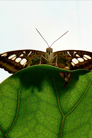 Butterfly iPhone Wallpaper