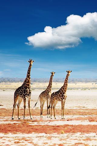 Giraffes iPhone Wallpaper