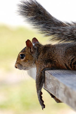 Relaxed Squirrel iPhone Wallpaper