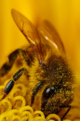 Busy Bee iPhone Wallpaper