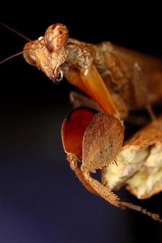 Praying Mantis iPhone Wallpaper