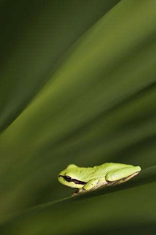 Green Frog iPhone Wallpaper