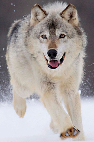 Gray Wolf iPhone Wallpaper