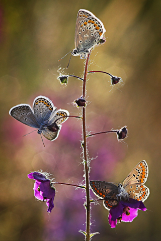 Butterflies iPhone Wallpaper