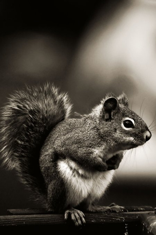 Vintage Squirrel iPhone Wallpaper