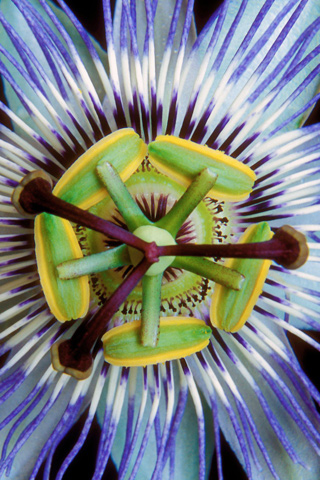 Passion Flower iPhone Wallpaper