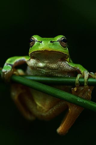 Frog by Hajdu Tamas iPhone Wallpaper