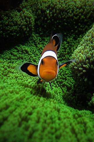 Clown Fish by Pedro Gonio iPhone Wallpaper