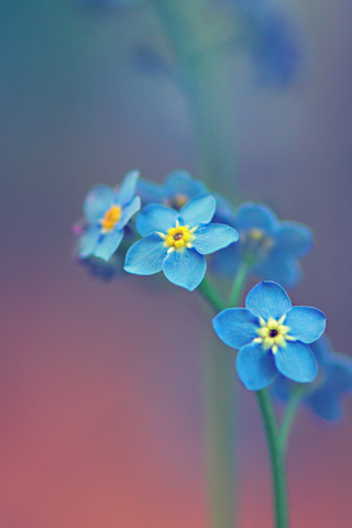 Blue Flowers iPhone Wallpaper