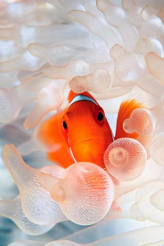Clown Fish iPhone Wallpaper