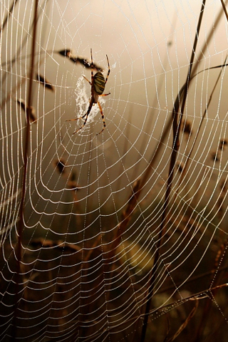 Spider Web iPhone Wallpaper