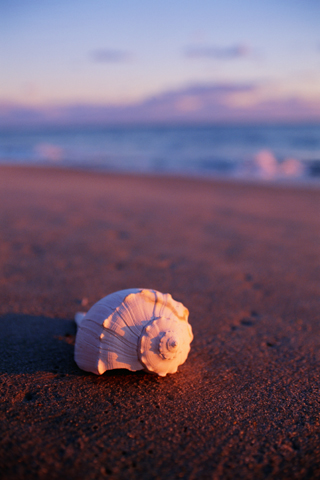Seashell iPhone Wallpaper