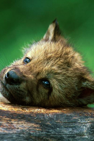 Wolf Puppy iPhone Wallpaper