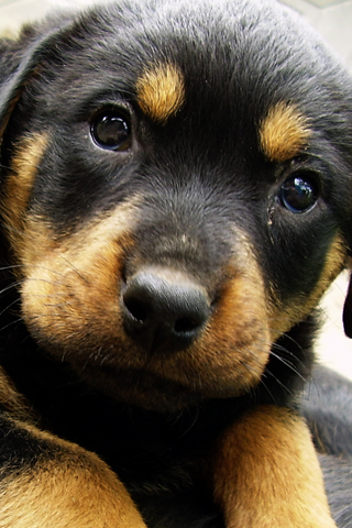 Rottweiler Puppy iPhone Wallpaper