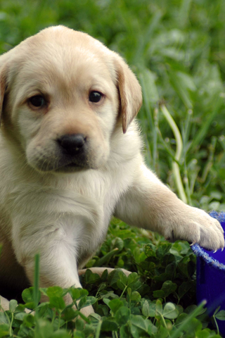 Labrador Retriever Puppy iPhone Wallpaper