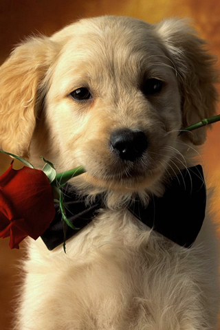 Golden Retriever Puppy iPhone Wallpaper