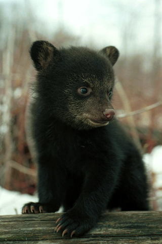 Black Bear Cub iPhone Wallpaper