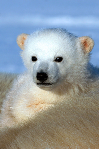 Polar Bear Cub iPhone Wallpaper