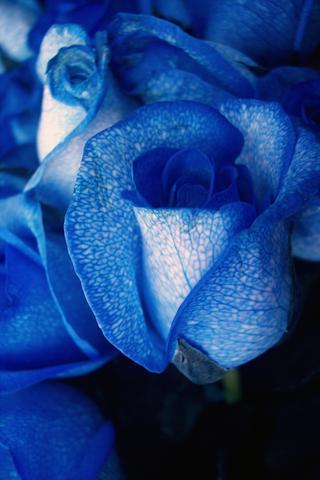 Blue Roses Iphone Wallpaper Idesign Iphone