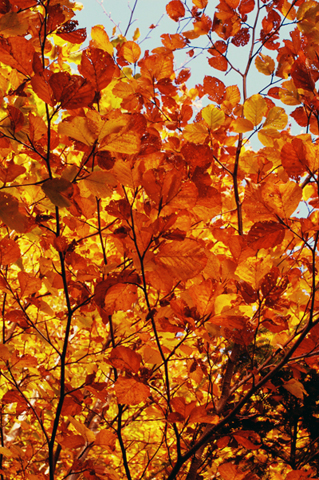 Autumn Leaves IPhone Wallpaper