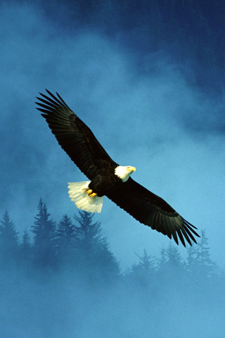 Bald Eagle iPhone Wallpaper