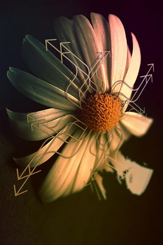 Directional Flower iPhone Wallpaper