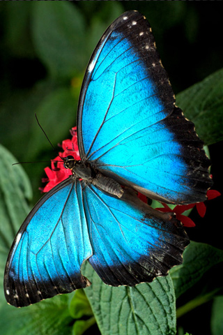 Blue Butterfly iPhone Wallpaper